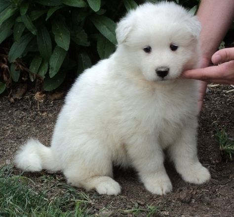 Samoyed Info Temperament Lifespan Puppies Pictures
