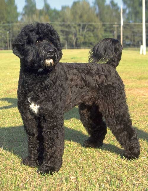 Portuguese Water Dog Info Life Span