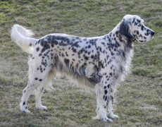 English Setter Stands