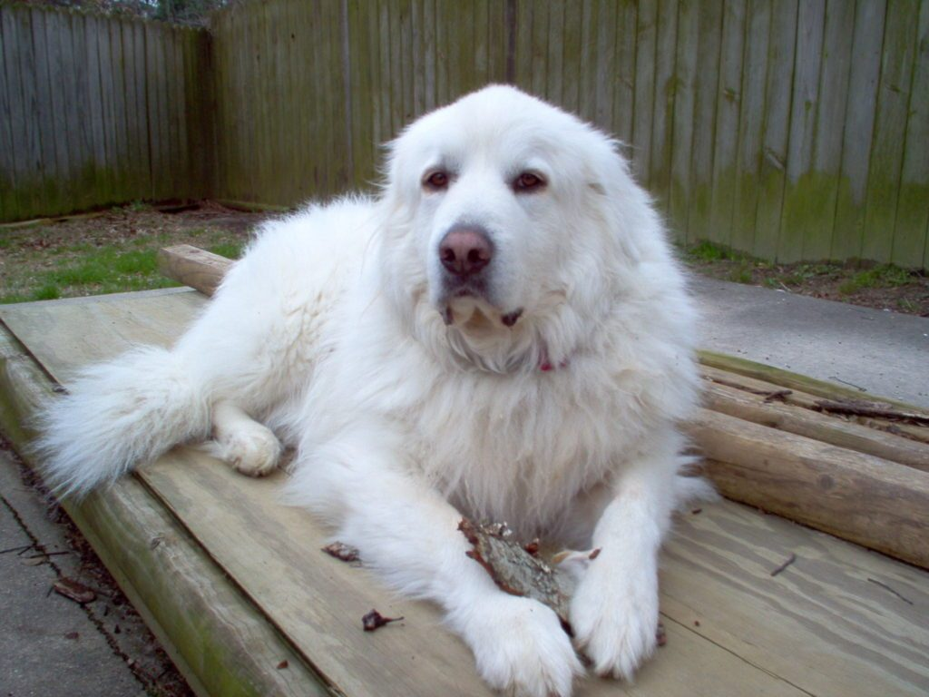 Great Pyrenees Info, Life Expectancy, Temperament, Puppies ...