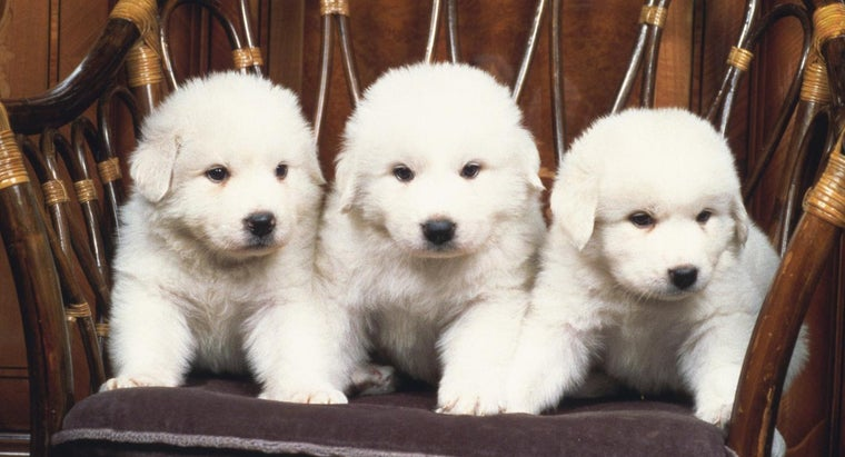 Pictures of Great Pyrenees Puppies