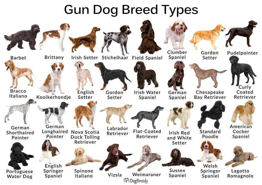 Gun Dog Breed Types