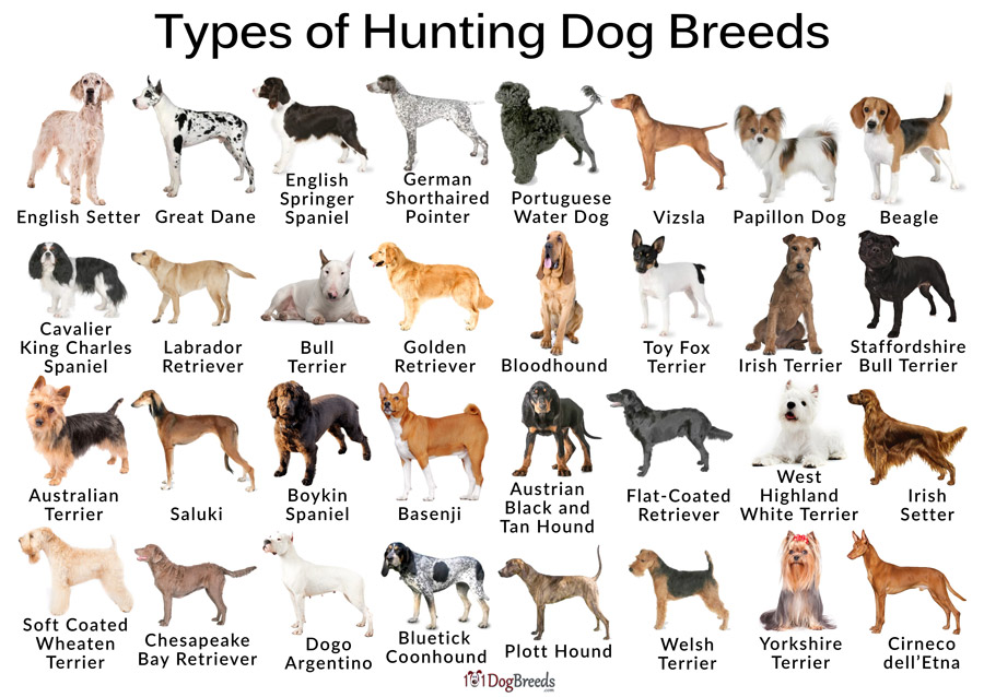 Types of Hunting Dog Breeds
