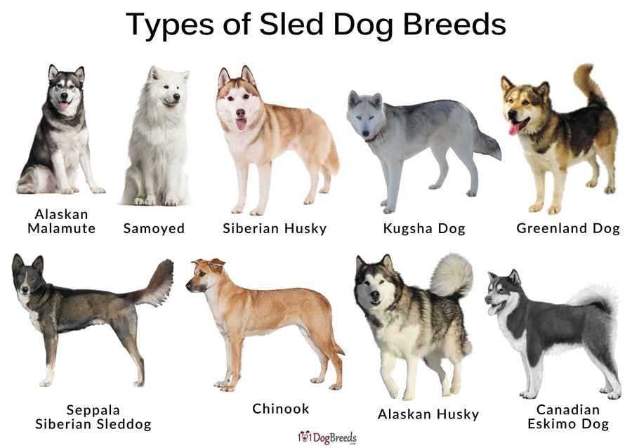 Sled Dog Breeds List And Pictures 101dogbreeds