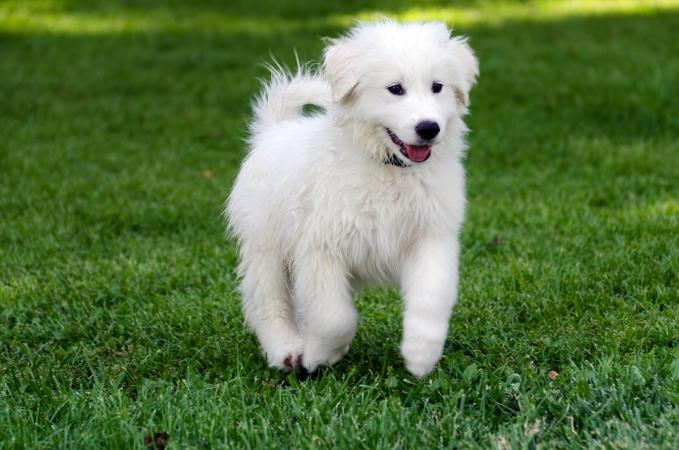 Great Pyrenees Dog Puppy