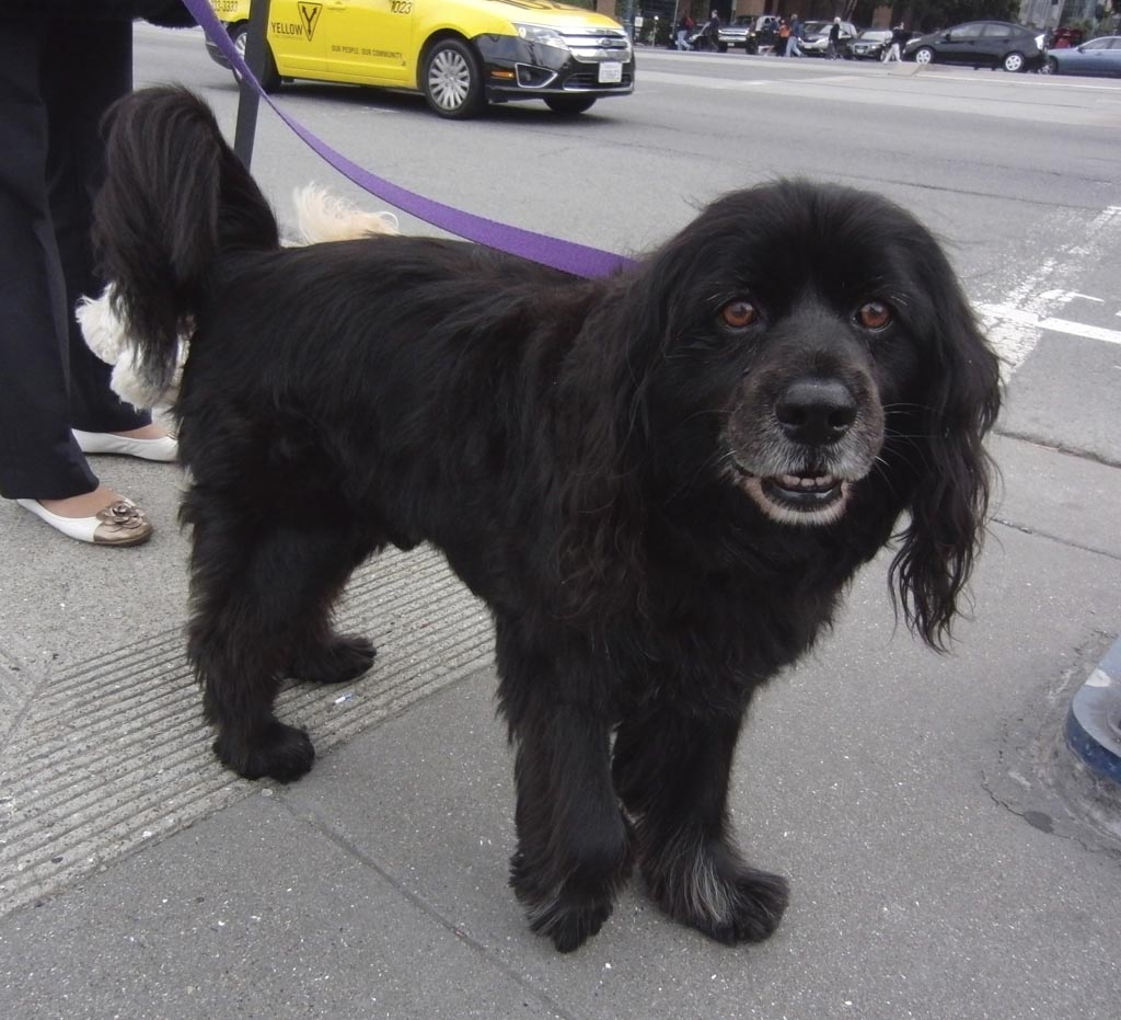 List Of Popular Cocker Spaniel Mixes With Pictures