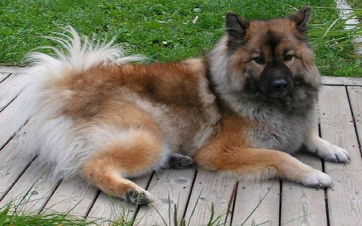 List of Popular Chow Chow Mixes with Pictures
